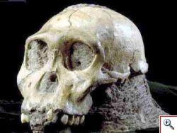 nuovo fossile Australopithecus sediba